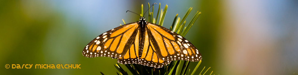 Monarch Butterfly  by Darcy Michaelchuk