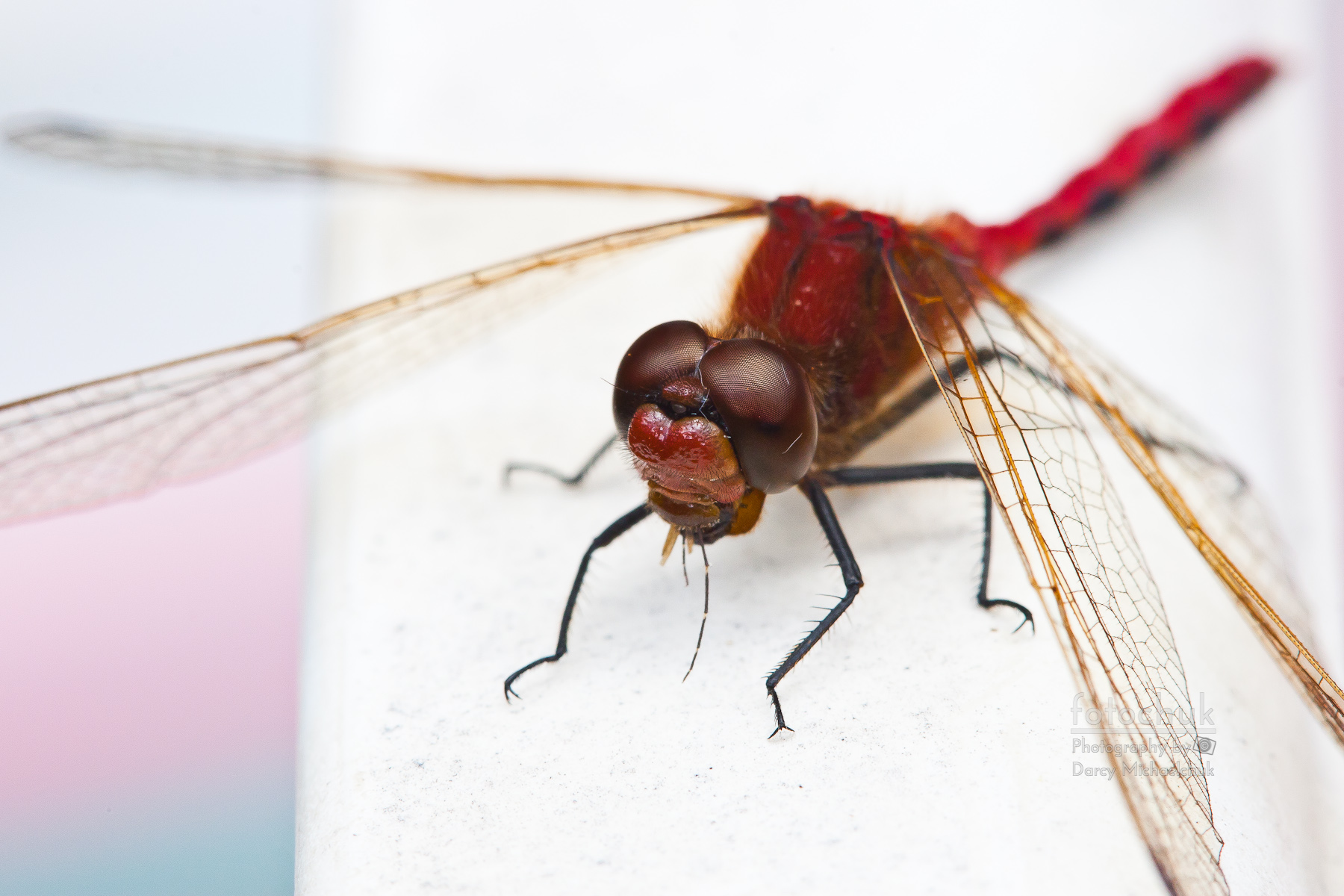 Dragonfly Devours Mosquito