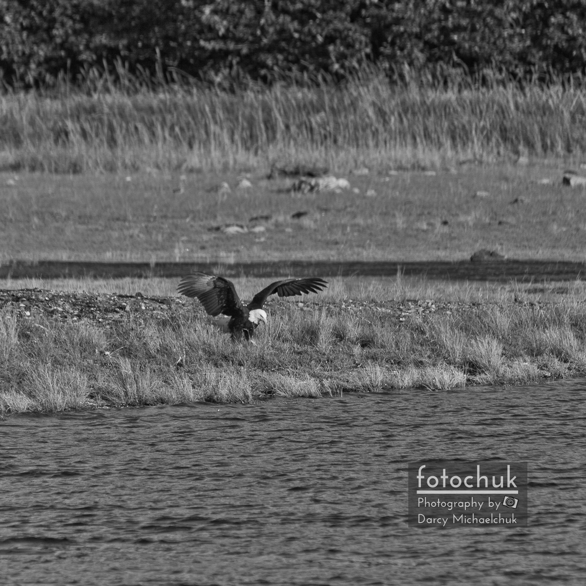 Eagle Wings Spread in Black and White