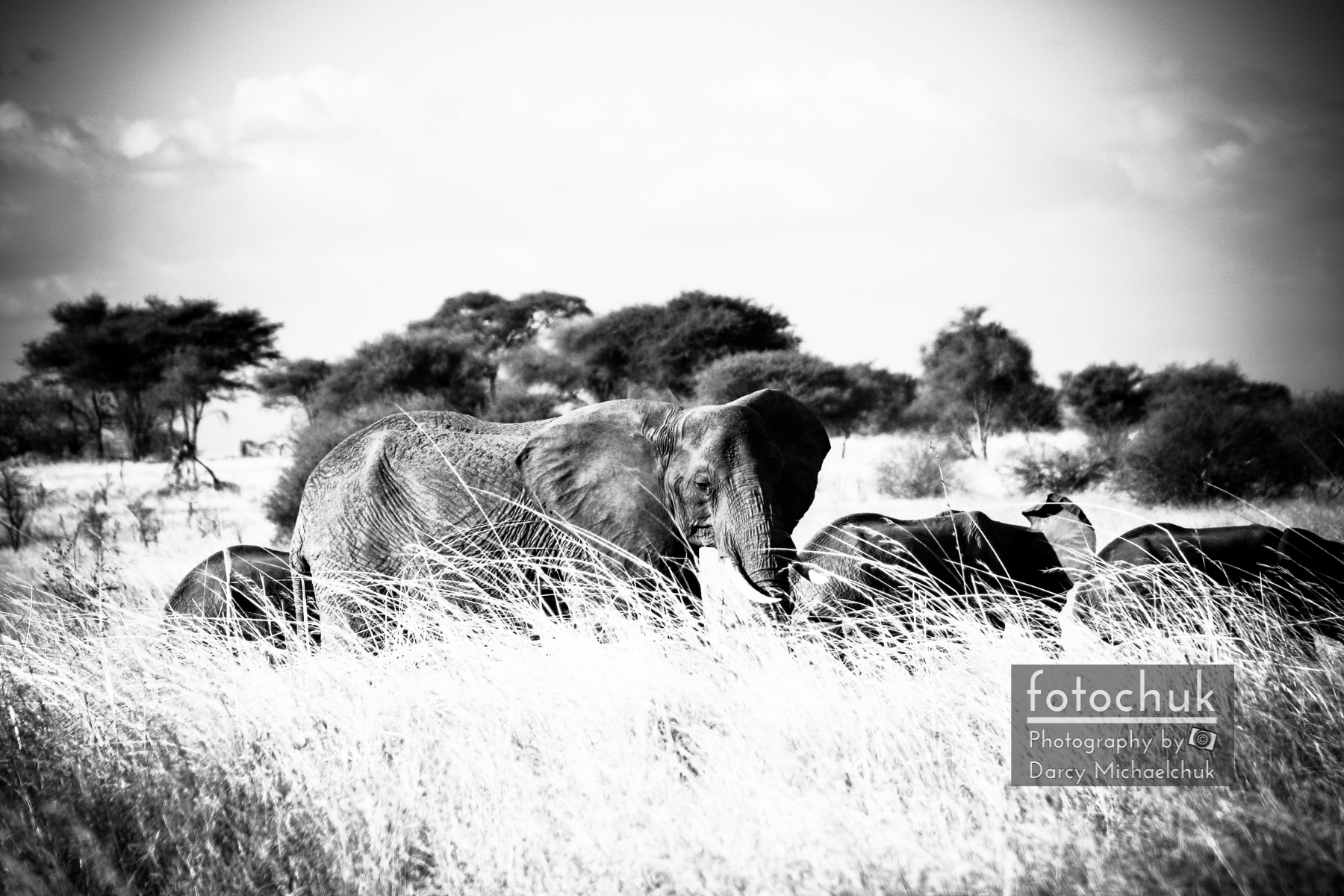 Elephant Family in the Grass Bw