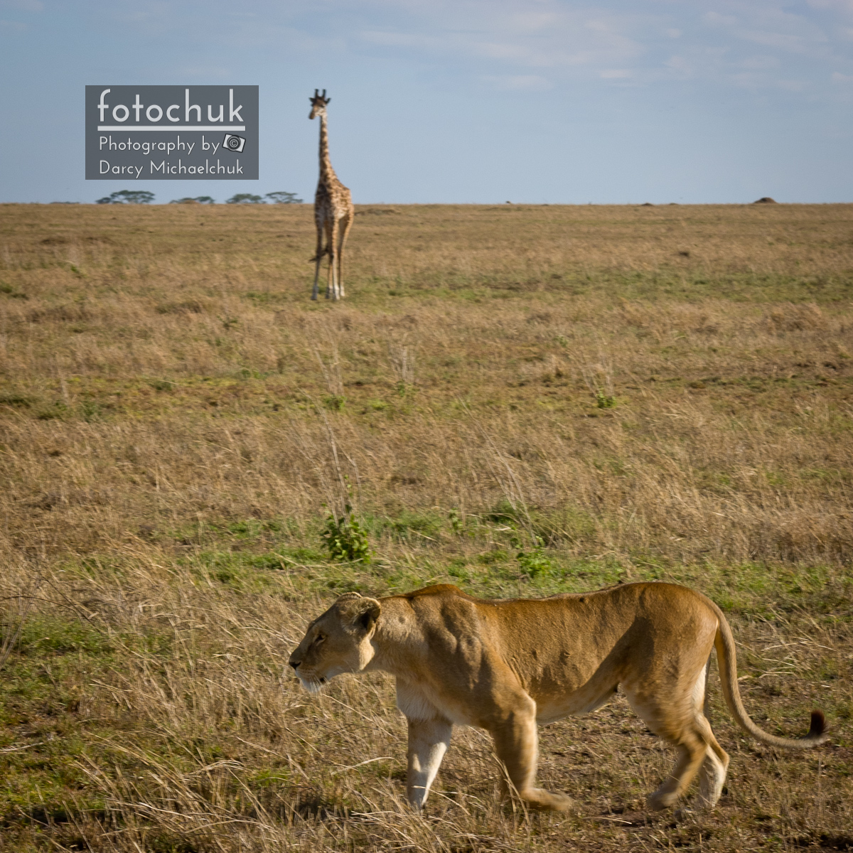 Giraffe Waits for Lioness to Pass