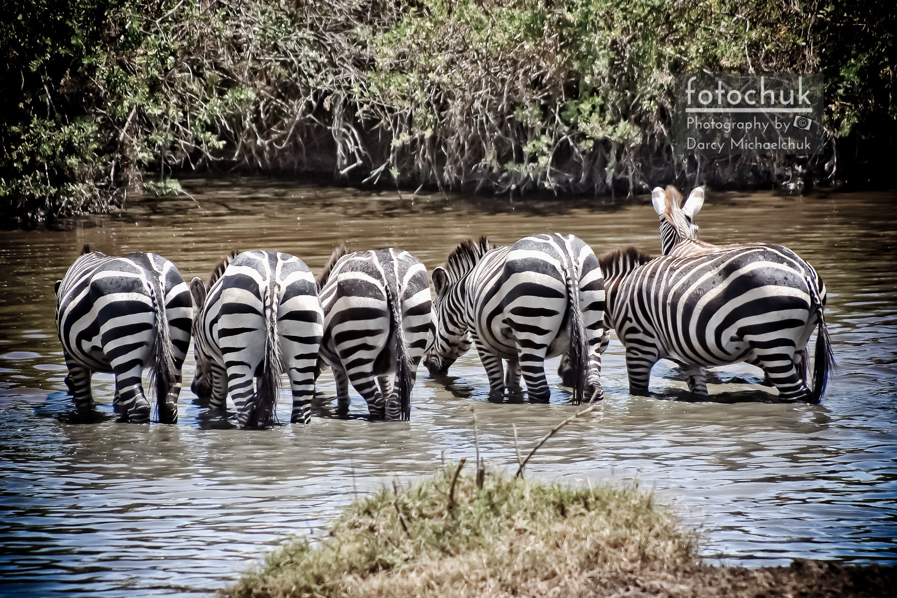 Group of Zebra Cautiously Drinking