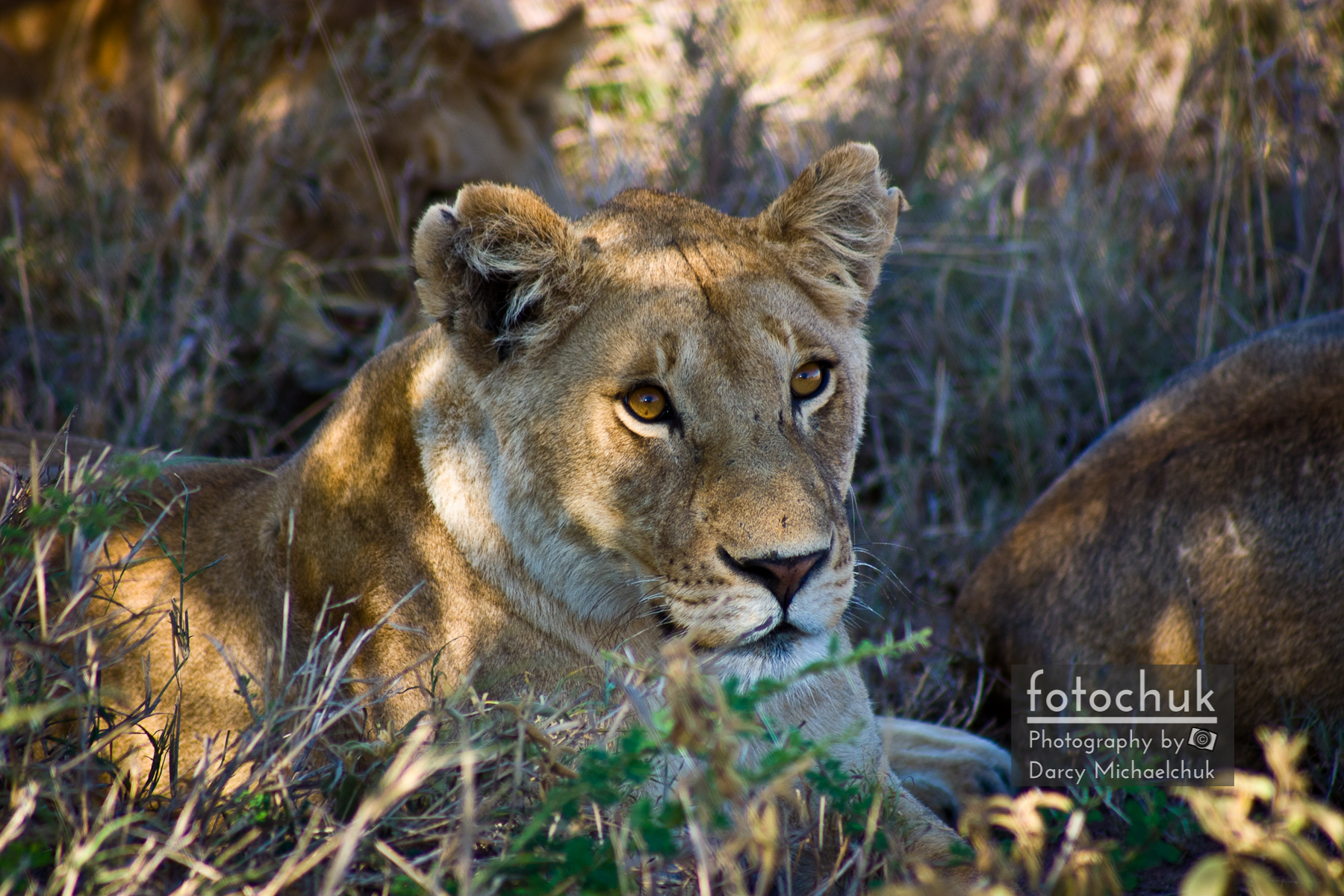 Lioness with Pride in Shade