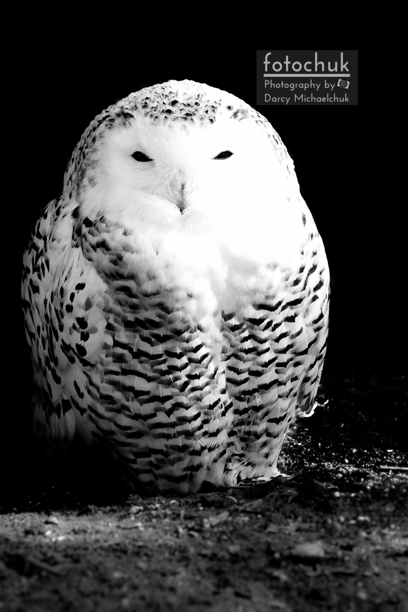Resting snowy owl photography by darcy michaelchuk