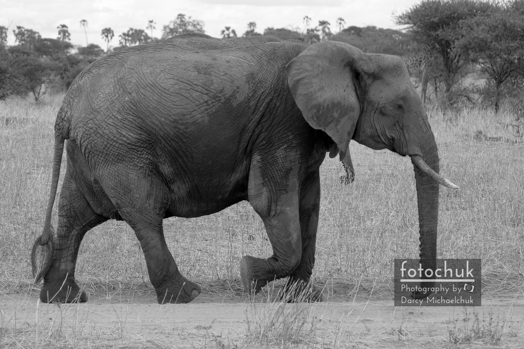 Tarangire Elephant on Road