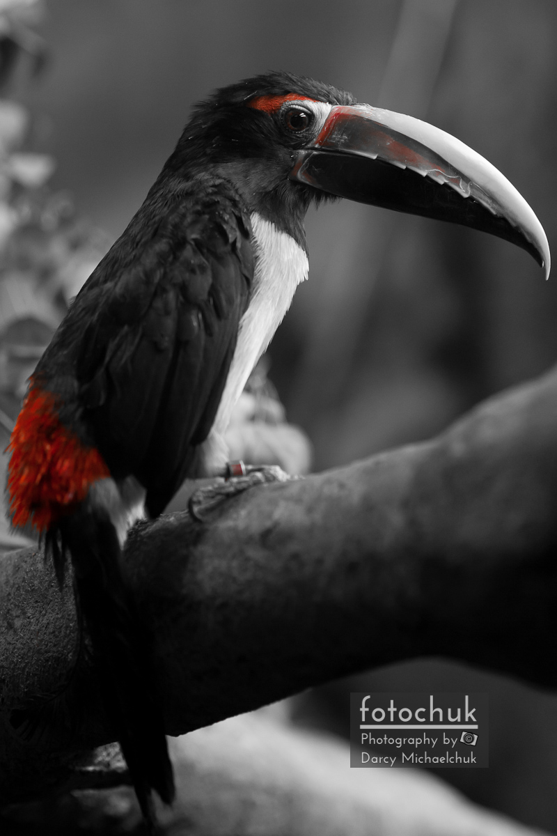 Tucan Red