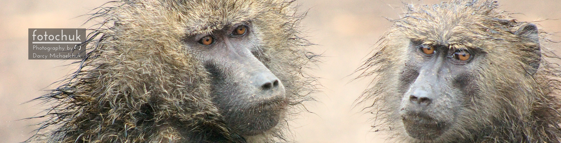 Wet Baboons, Panoramic