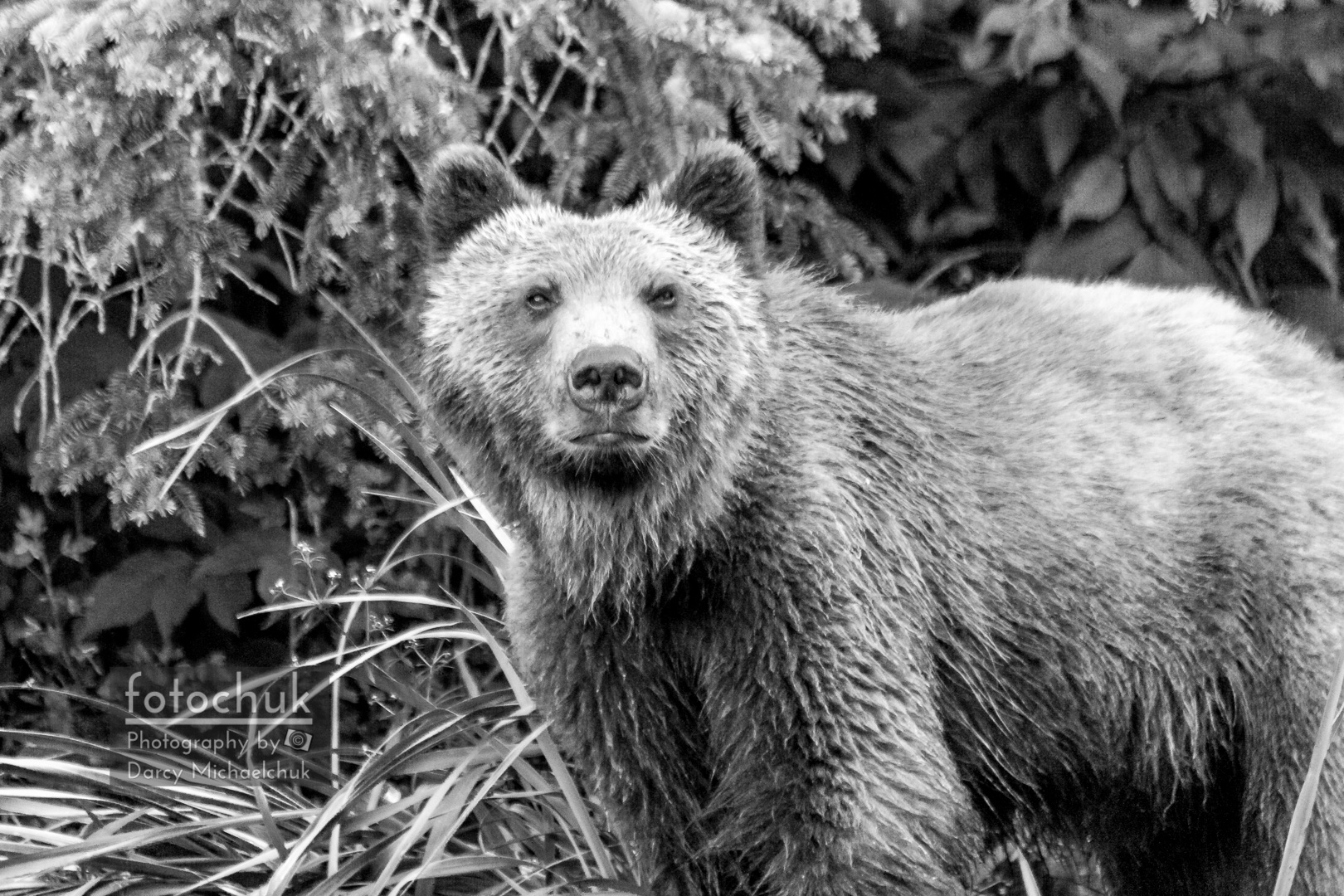 Young Grizzly Bear in the Alaskan Grass Black and White