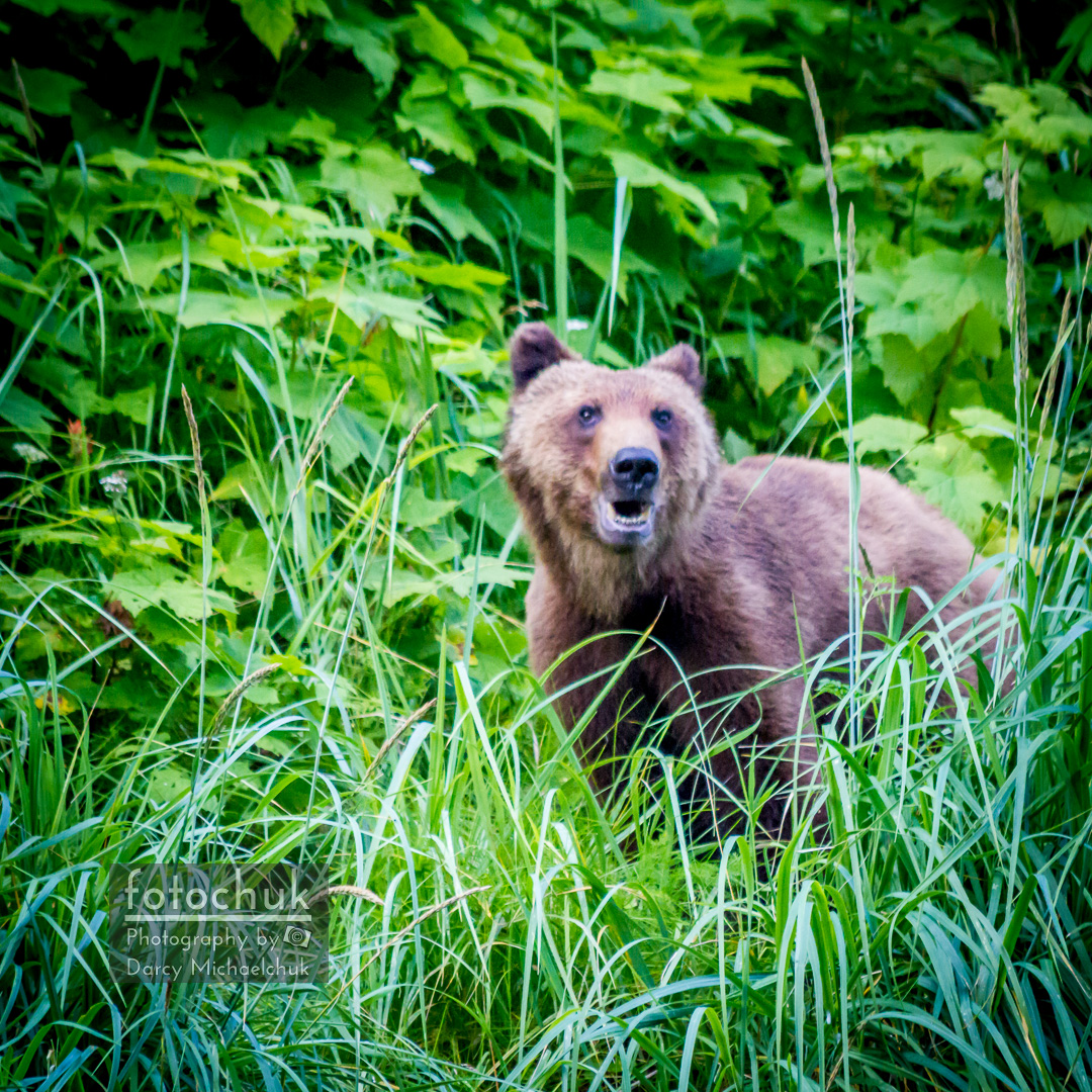 Young Grizzly Bear in the Alaskan Grass