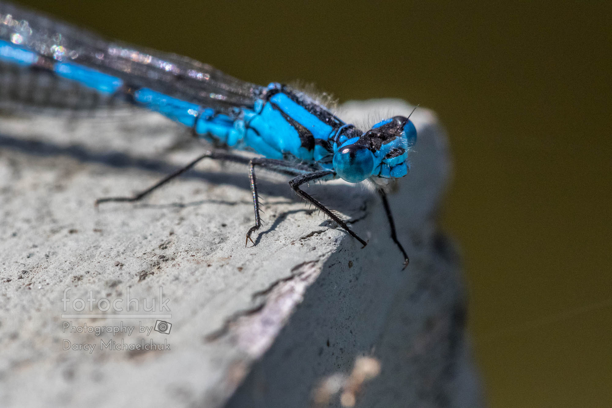 Tiny Blue Dragonfly Rests