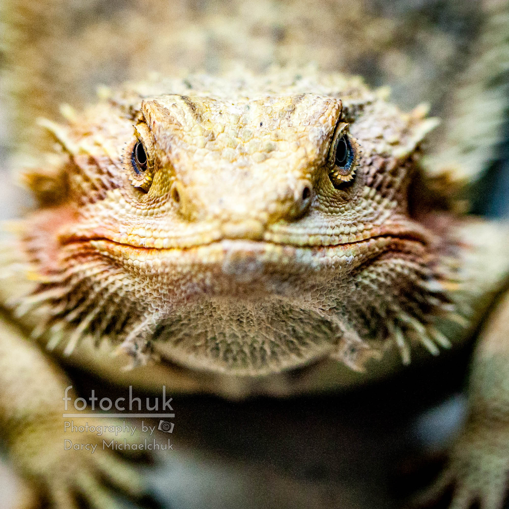 Dragon Lizard Stare Down