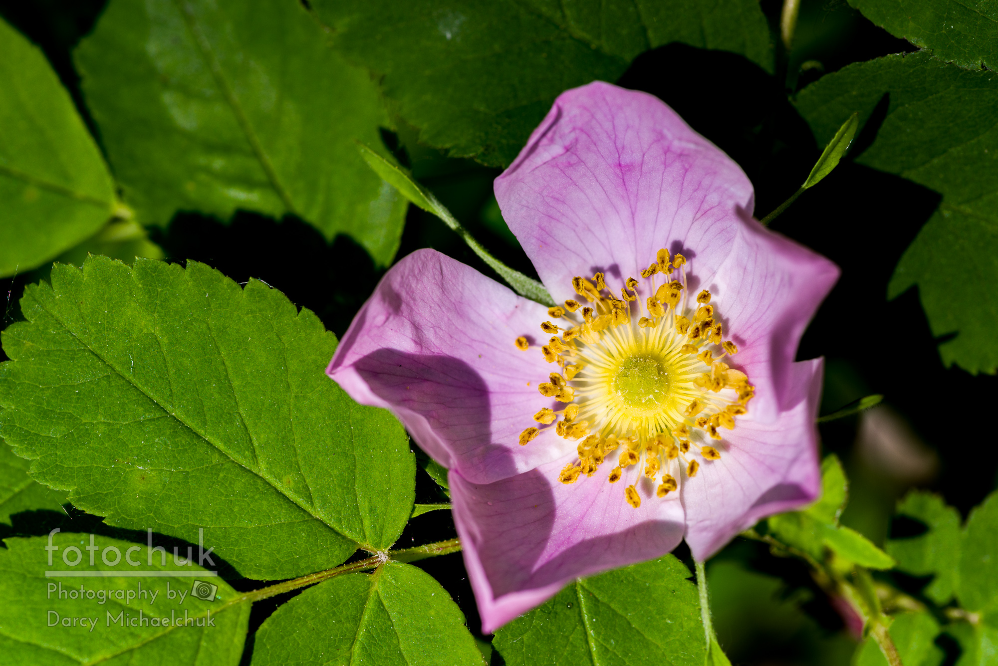 Alberta Wild Rose Opens for Early Sun