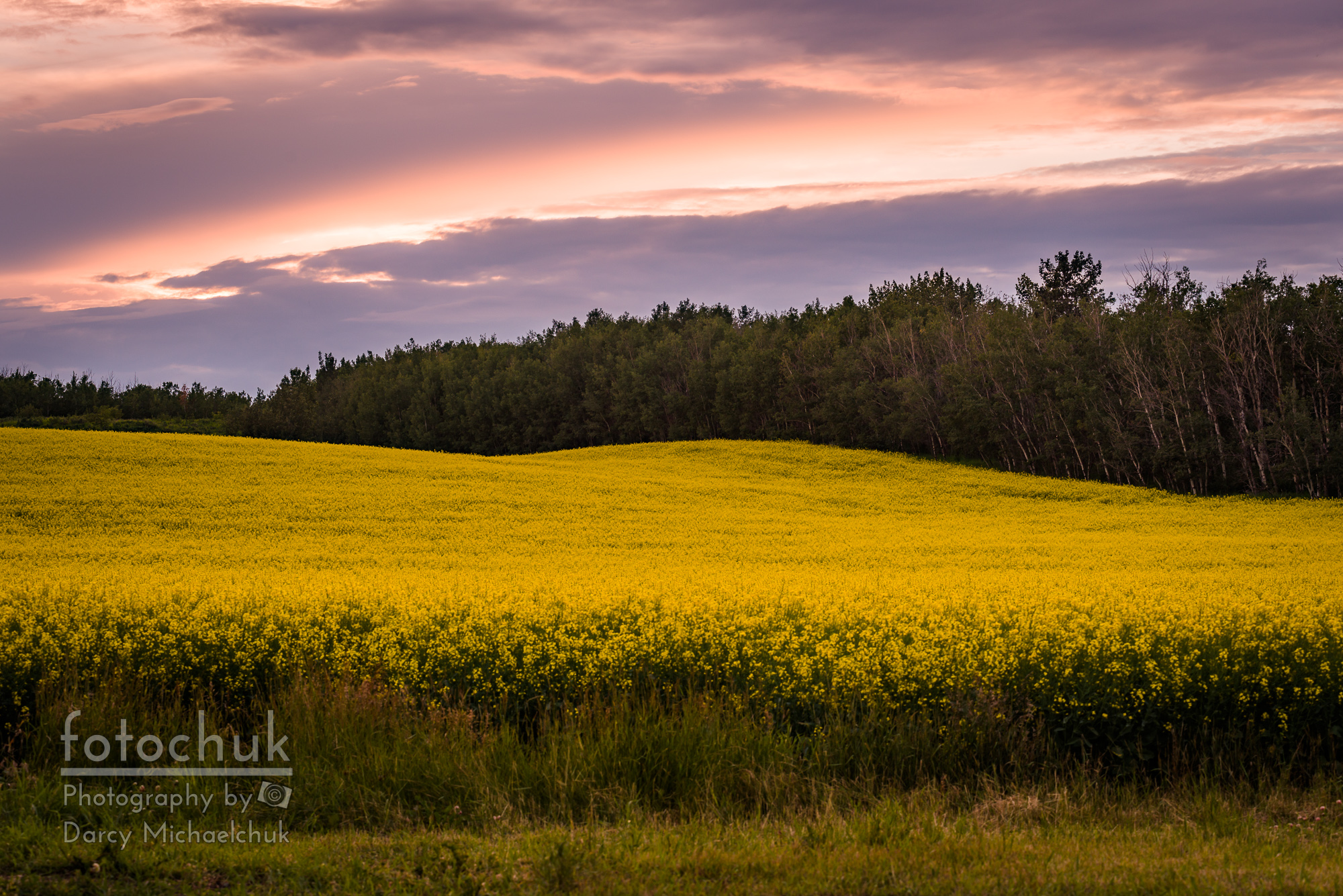 Canola Crop Sunset